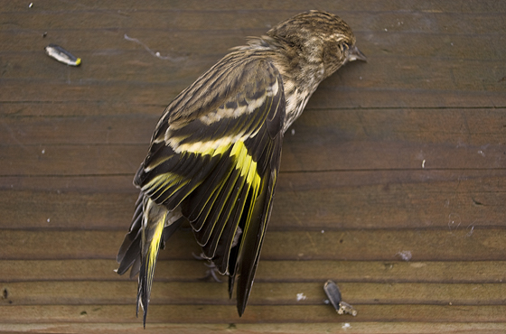 deadpinesiskin_sm