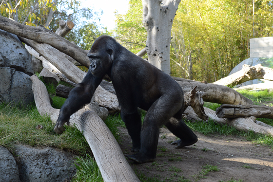 zoo_gorilla