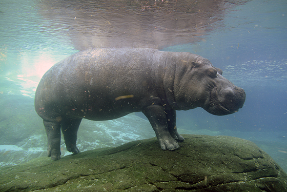 zoo_hippo