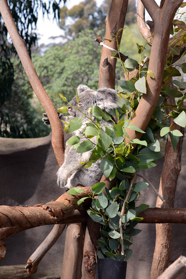 zoo_koala