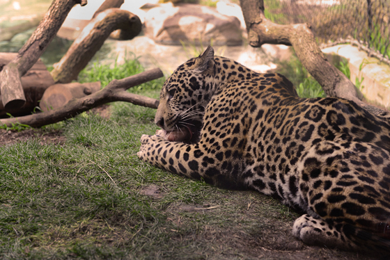 zoo_leopard