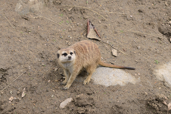zoo_meerkat