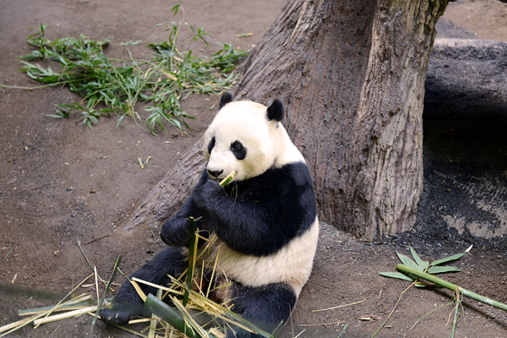 zoo_panda