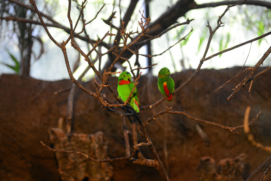 zoo_parrots
